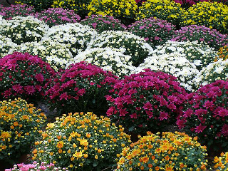 Хризантема мултифлора